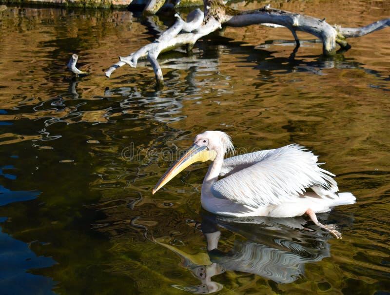 ein weißer Pelikan, der auf dem Wasser von einem Teich schwimmt Der Pelikan schwimmt, seine Beine bewegend und Wellen auf dem Was stockbild