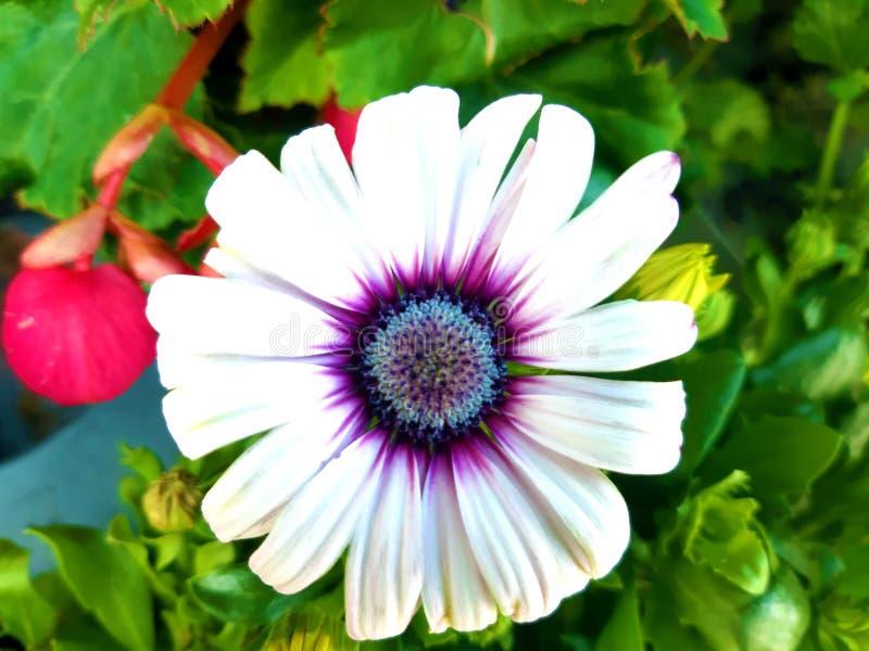 Ein weißer schöner Petunie Whit-Grünhintergrund stockbild