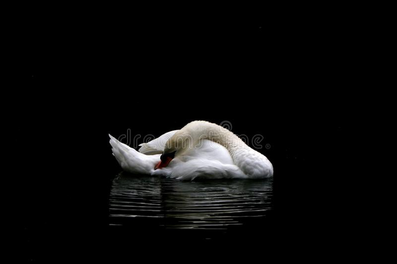 Ein weißer Schwan auf der Oberfläche eines Sees, umgeben von dunklen Farbtönen stockbild