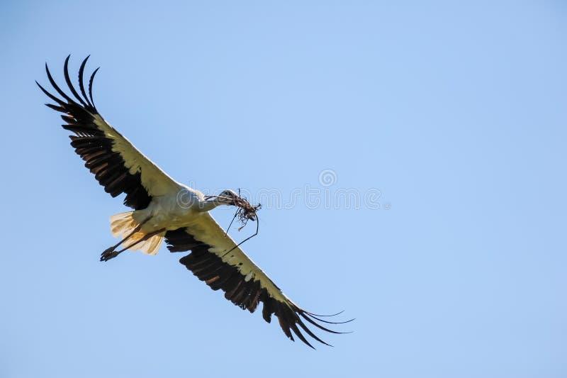Ein weißer Storch des Fliegens, der mit Material sich nähert, um ein Nest zu errichten lizenzfreie stockfotos