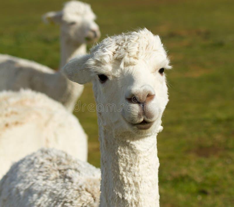 Ein weißes Alpaka lizenzfreies stockfoto