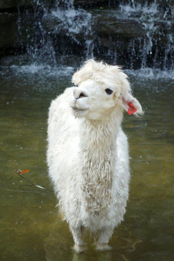 Ein weißes Alpaka lizenzfreie stockfotos