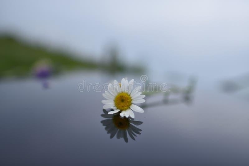 Ein weißes Gänseblümchen auf die Oberseite des Wassers lizenzfreie stockfotografie