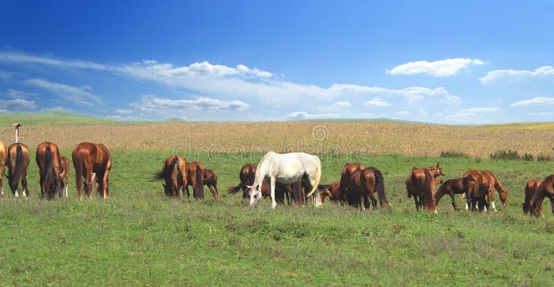 Ein weißes Herausragendpferd in der Herde unter braunen Pferden vor dem hintergrund eines bunten blauen Himmels und grünen Hügel lizenzfreies stockbild