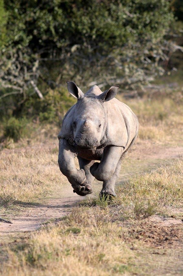 Ein weißes Nashorn/ein Nashorn des Babys lizenzfreies stockbild