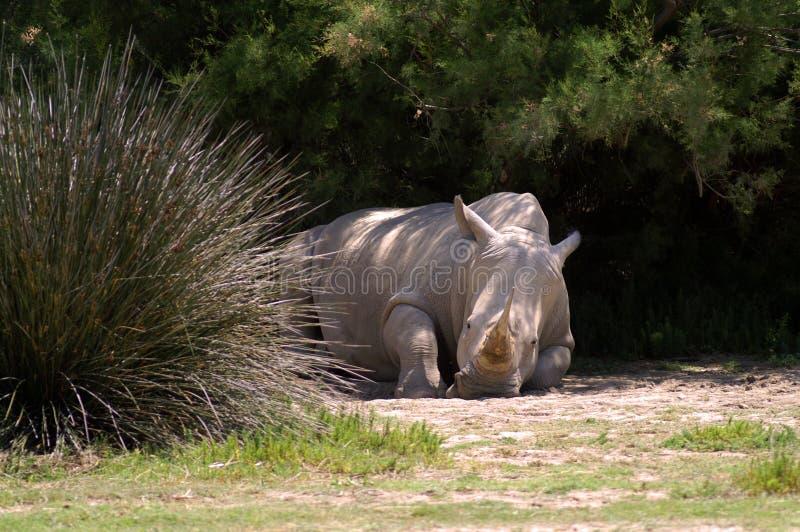 Ein weißes Nashorn liegt aus den Grund im Schatten des hohen Grases und der Büsche lizenzfreies stockbild