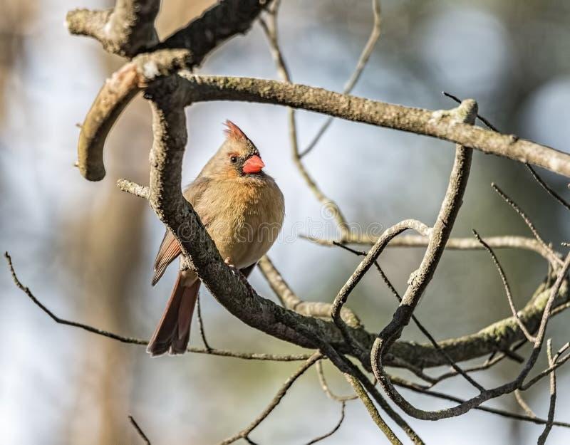 Ein weiblicher Kardinal gehockt stockbild