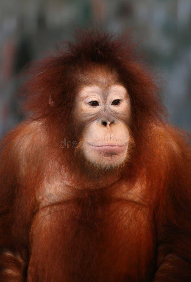Ein weiblicher Orang-Utan stockbild