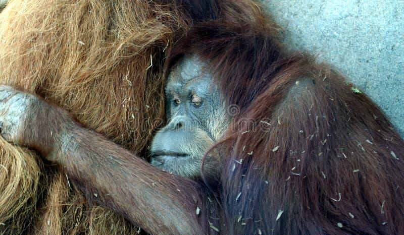 Ein weiblicher Orang-Utan umarmt ihren Gehilfen stockbild