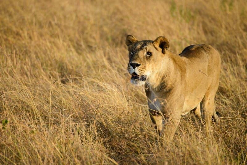 Ein weiblicher wandernder Löwe stockbilder