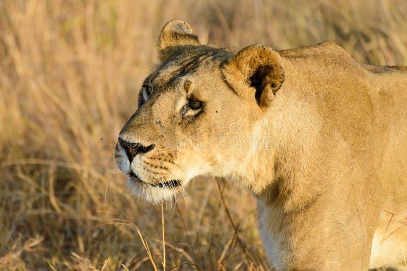 Ein weiblicher wandernder Löwe stockfotos