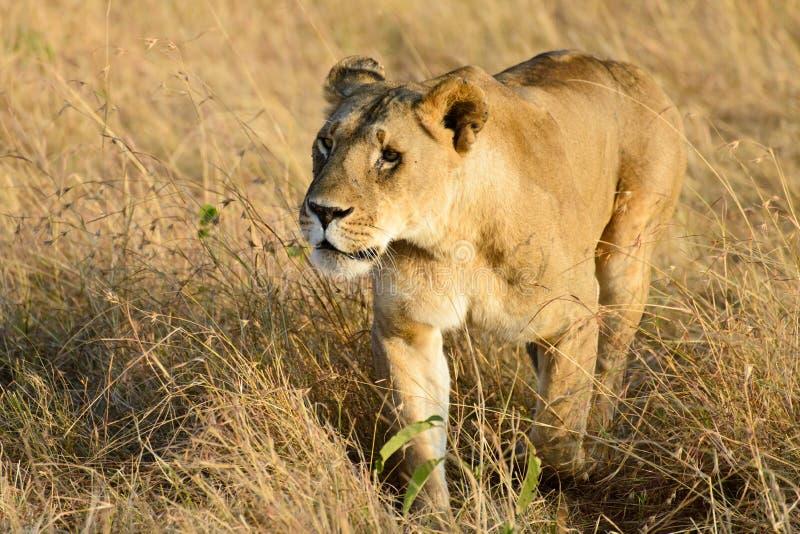 Ein weiblicher wandernder Löwe lizenzfreie stockfotografie