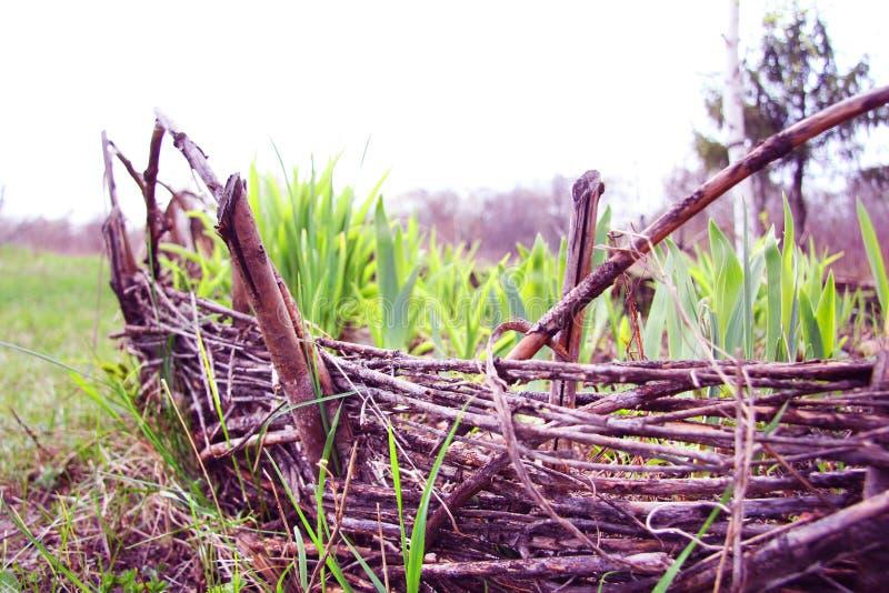 Ein Weidenbett mit gekeimten Blättern von Tulpen und von Iris Weidenzaun Natur und Frühling Datscha oder Park stockbild