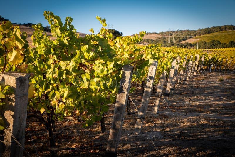 Ein Weinberg in zentralem Kalifornien stockfotos