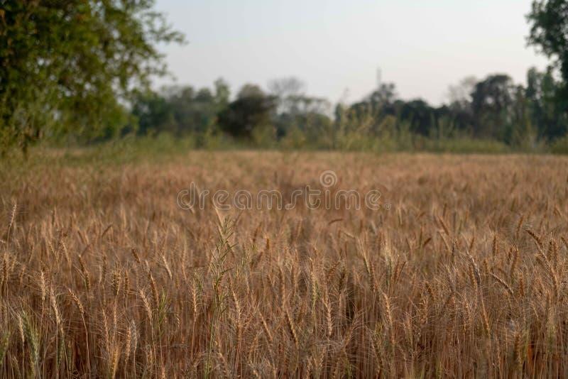 Ein Weizenfeld in Nord-Indien lizenzfreie stockfotos