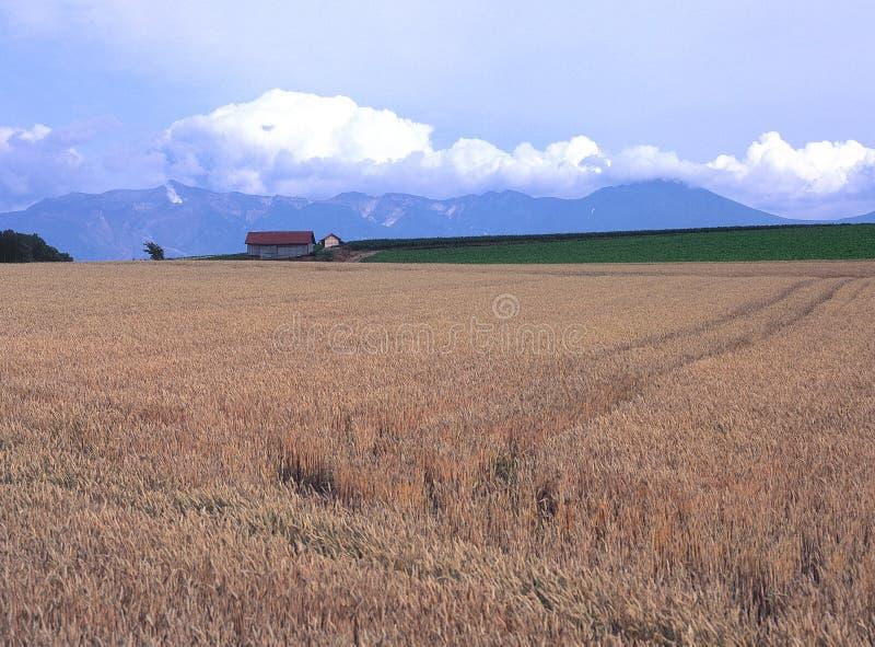Ein Weizenfeld von Furano stockbild