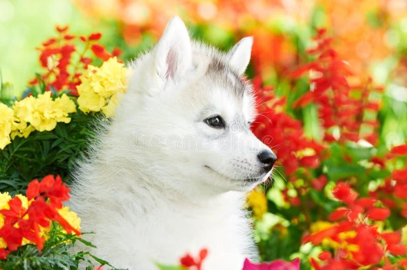 Ein Welpe des sibirischen Schlittenhunds in den Blumen lizenzfreies stockbild