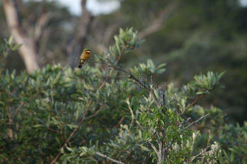 Ein weniger Bienenfresser auf einer Niederlassung stockbilder
