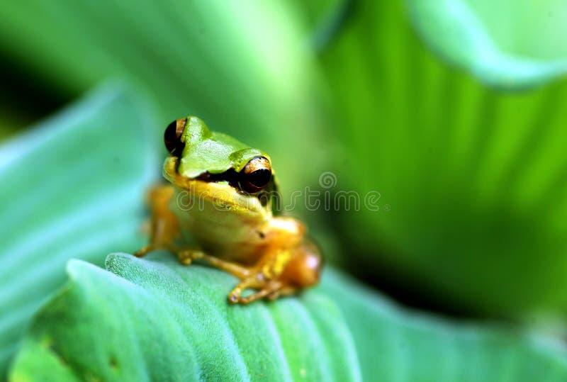 Ein weniger Frosch auf Lotosblatt lizenzfreie stockfotos