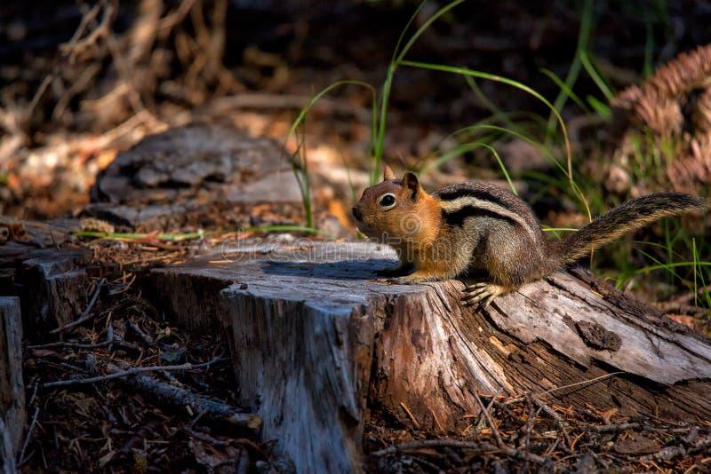 Ein weniges Streifenhörnchen mit einem Gesicht voll vom Lebensmittel stockfoto