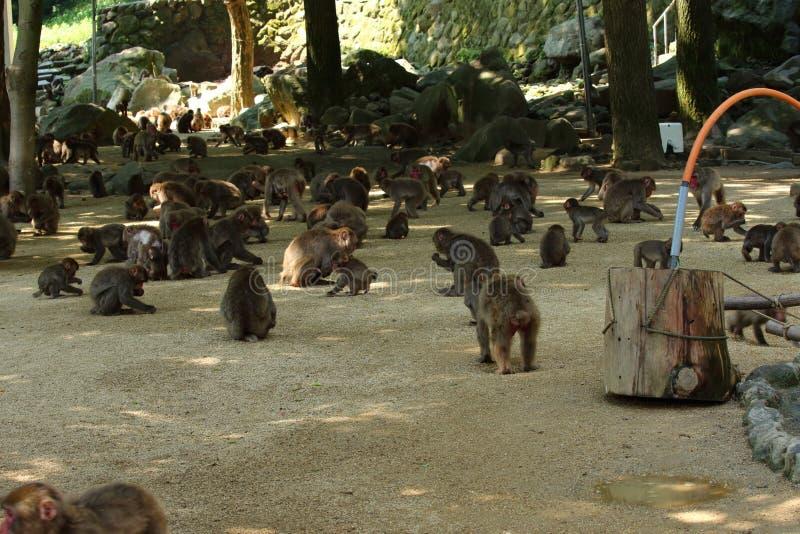 Ein wilder Affe erfasste am Fütterungsort natürlichen Zoos Takasakiyama stockbild