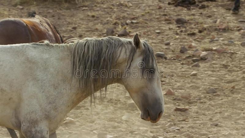 Ein wilder Buchtmustang der wildes Pferdeherde Onaquai In der Wüste von Nevada stoisch stehen, Vereinigte Staaten stockbild