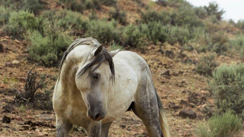 Ein wilder Buchtmustang der wildes Pferdeherde Onaquai In der Wüste von Nevada stoisch stehen, Vereinigte Staaten stockfoto