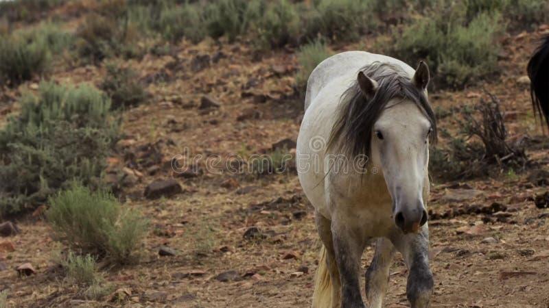 Ein wilder Buchtmustang der wildes Pferdeherde Onaquai In der Wüste von Nevada stoisch stehen, Vereinigte Staaten lizenzfreies stockbild