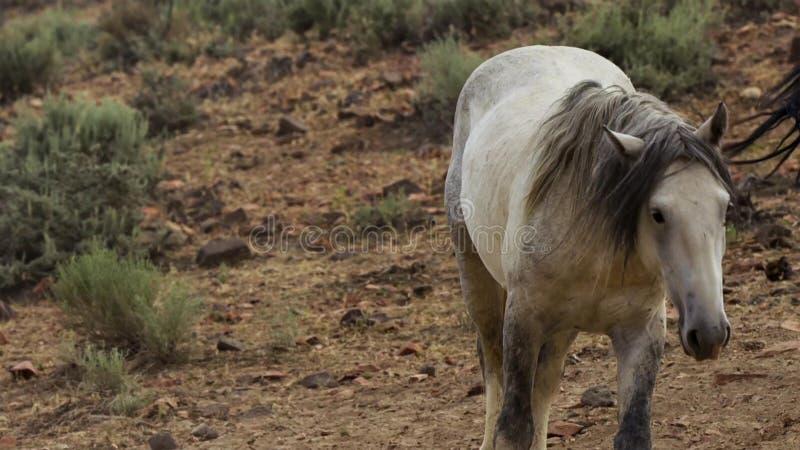 Ein wilder Buchtmustang der wildes Pferdeherde Onaquai In der Wüste von Nevada stoisch stehen, Vereinigte Staaten lizenzfreie stockfotos