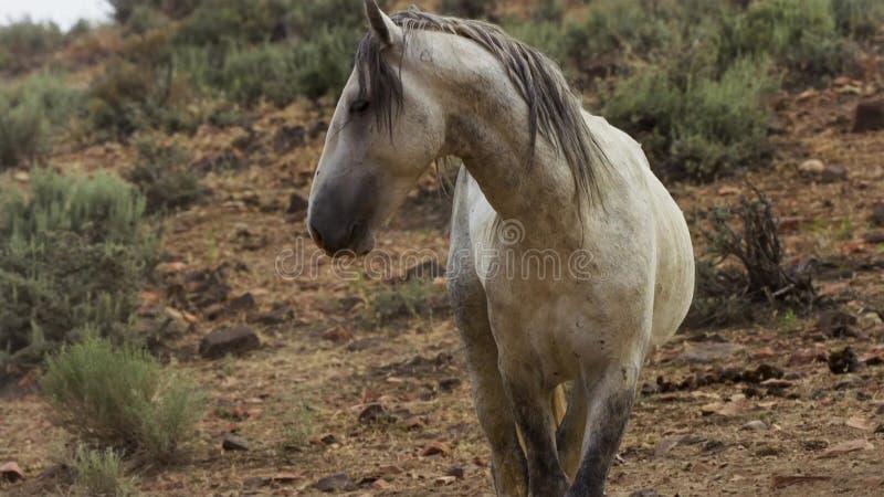 Ein wilder Buchtmustang der wildes Pferdeherde Onaquai In der Wüste von Nevada stoisch stehen, Vereinigte Staaten stockfotografie
