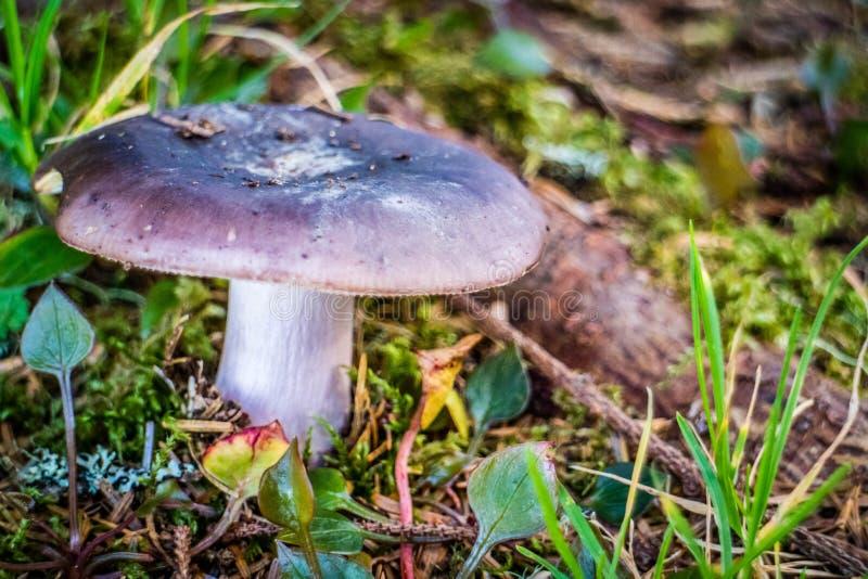 Ein wilder Pilz im Heceta-Kopf-Leuchtturm-Nationalpark Florenz, Oregon stockfotos