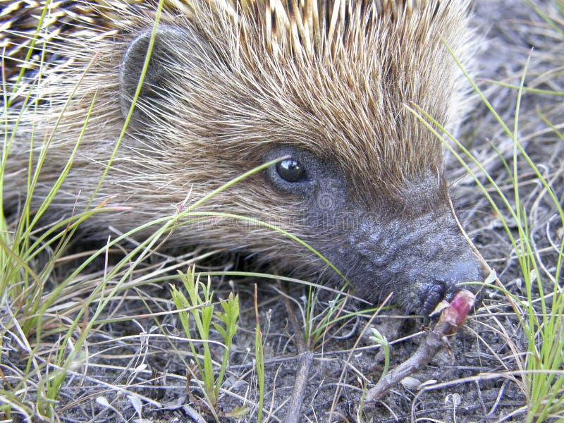 Download Ein Wildes Igeles Aus Den Grund Stockfoto - Bild von hedgehog, wald: 96928374