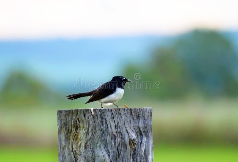 Ein Willie Wagtail-Vogel, der auf Zaunbeitrag sitzt stockbilder