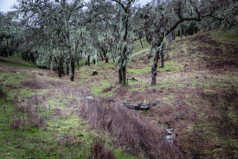 Ein winterliche Szenen-gespenstische moosige Geist-Bäume lizenzfreies stockfoto
