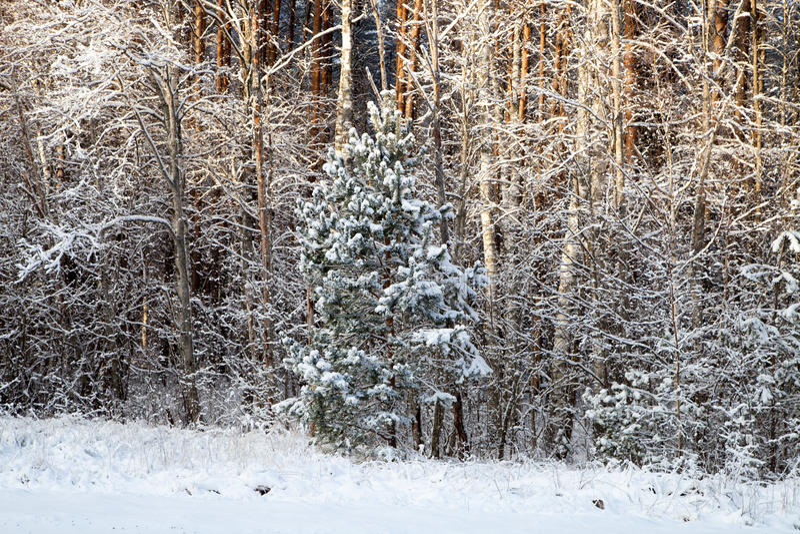 Ein Winterwald stockfoto