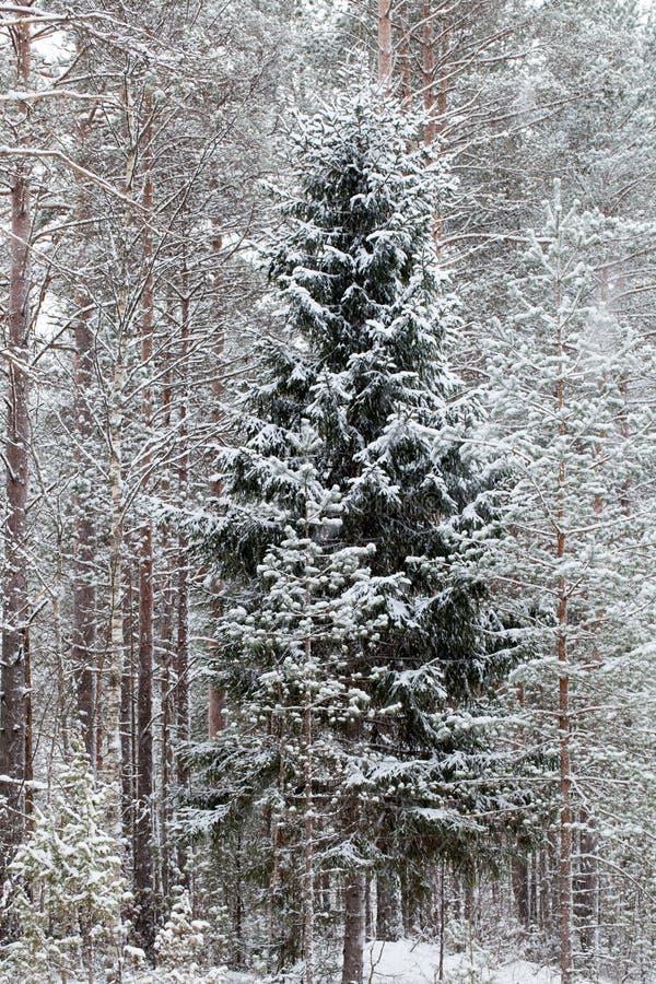 Ein Winterwald lizenzfreies stockfoto