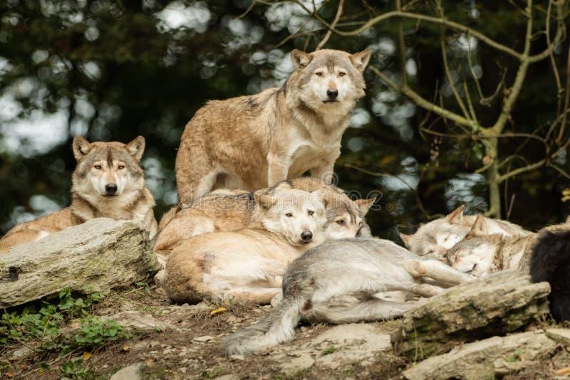 Ein Wolfsrudel stockbild