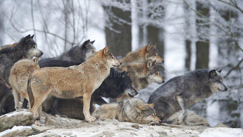 Ein Wolfsrudel stockfoto