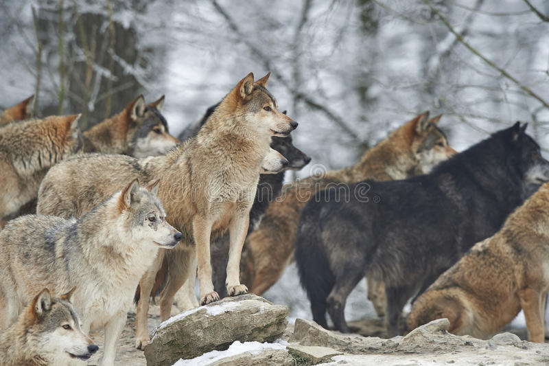 Ein Wolfsrudel stockfotos