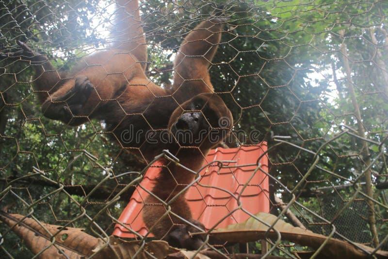 Ein wolliger Affe gehalten in der Gefangenschaft, die am Fechten hängt lizenzfreie stockfotos