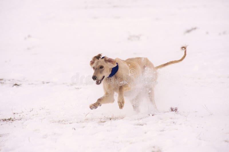Ein wunderschöner Windhund, der im Schnee Jäger jagt stockfotografie