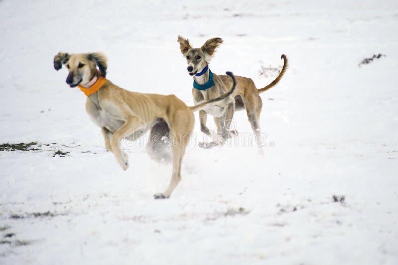 Ein wunderschöner Windhund, der im Schnee Jäger jagt lizenzfreie stockfotografie