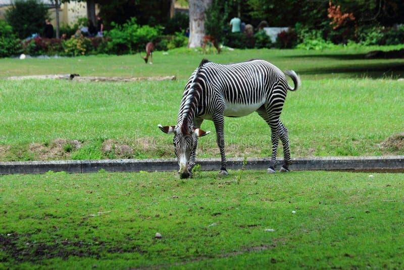 Ein Zebra, das im Zoo in Nürnberg weiden lässt stockbilder