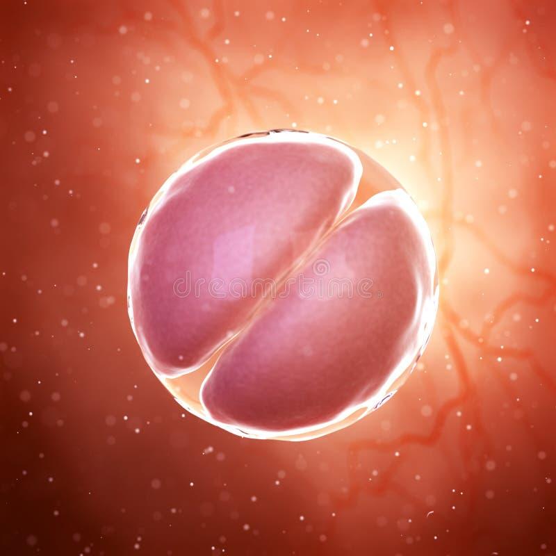 Ein 2 Zellstadiumsembryo lizenzfreie abbildung