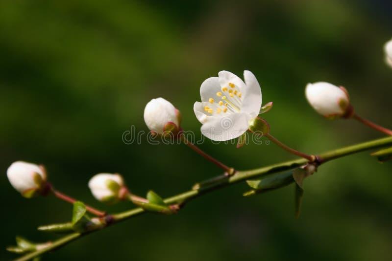 Ein Zweig der weißen Knospen lizenzfreie stockfotos