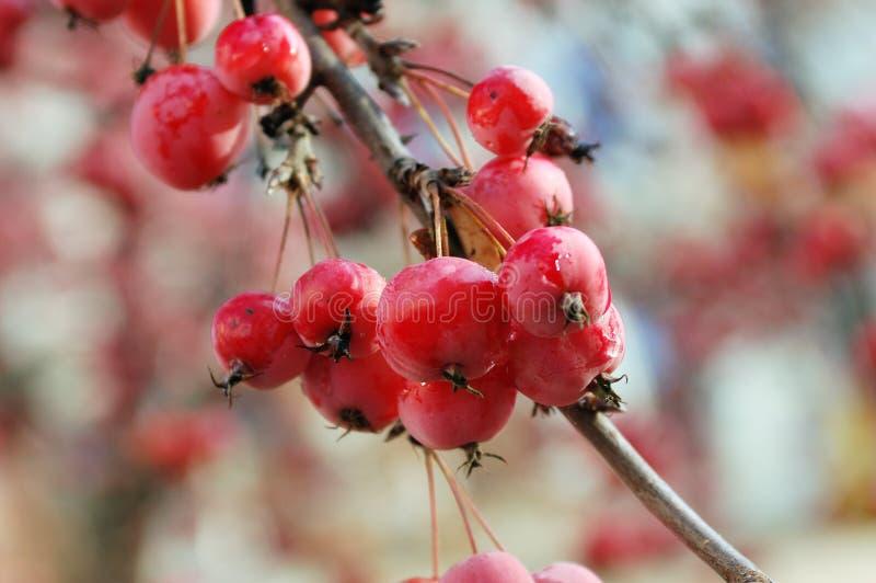 Ein Zweig des Holzapfelbaums mit Bündel Früchten lizenzfreie stockfotografie