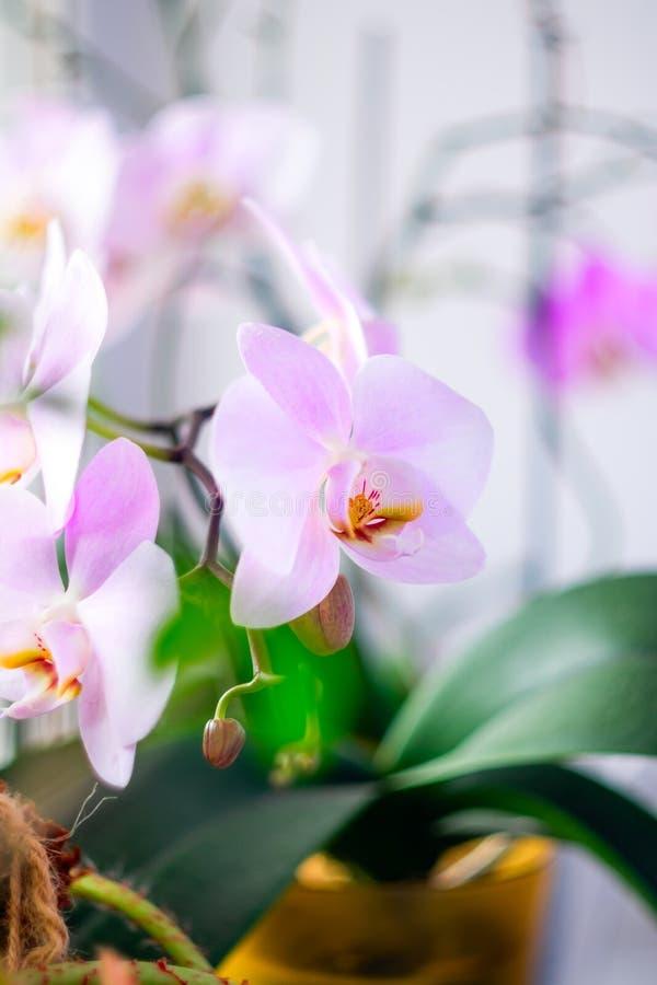 Ein Zweig einer blühenden rosa Orchidee Exotische Anlage lizenzfreies stockbild