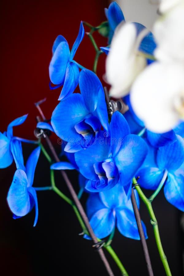 Ein Zweig von blühen weiße und blaue Orchidee auf einem roten Hintergrund lizenzfreie stockfotos