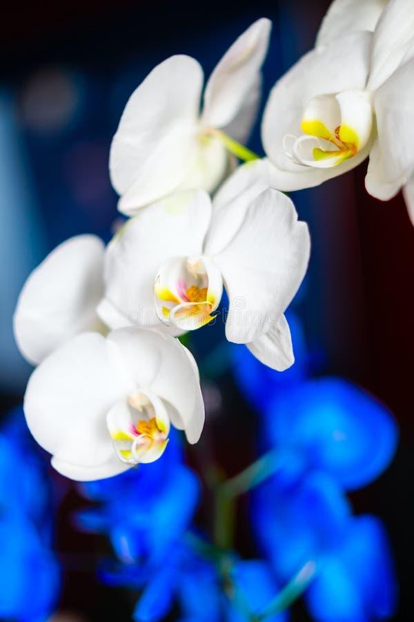 Ein Zweig von blühen weiße und blaue Orchidee auf einem schwarzen Hintergrund lizenzfreies stockfoto