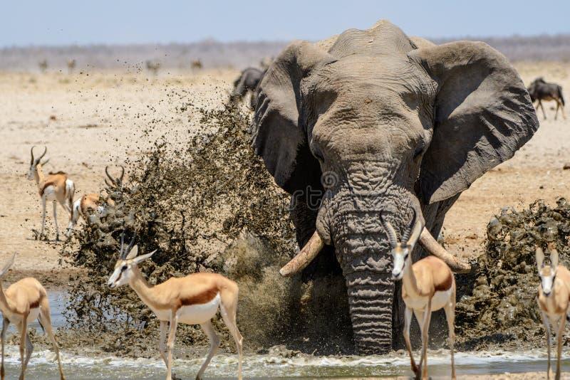 Eindrucksvoller Stier-Elefant, der am waterhole spritzt stockfotografie
